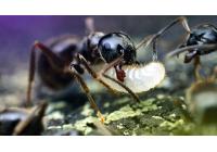 Муравьиный великан: что за большой муравей появился на свет?